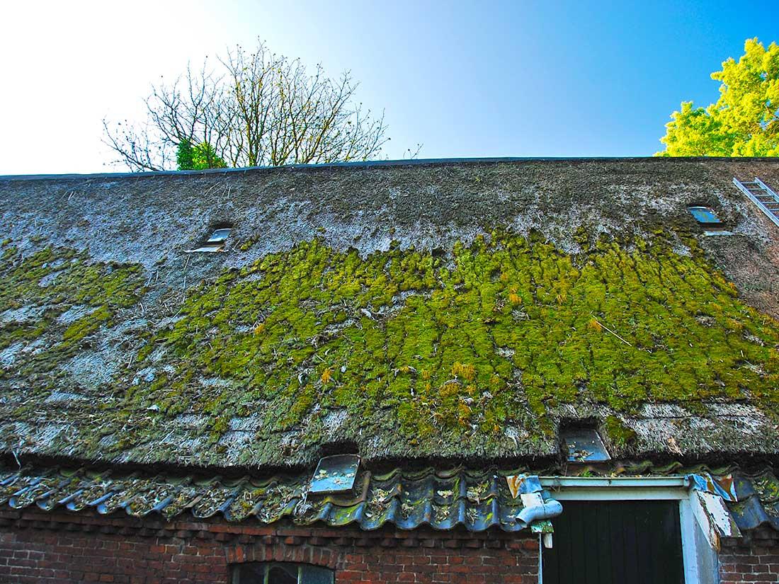 Onderhoud, Algen en mos op rieten dak